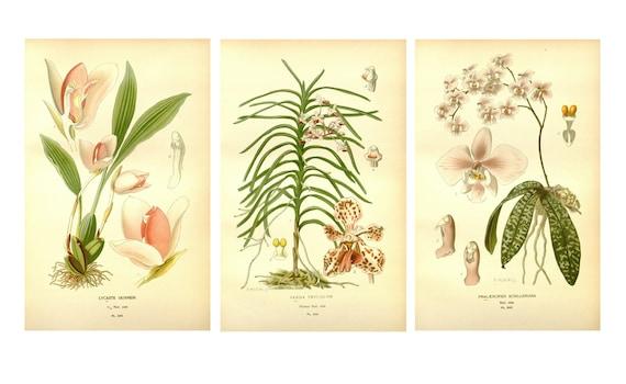 Orchid Prints, Botanical Illustrations, Vintage Botanical Prints ...