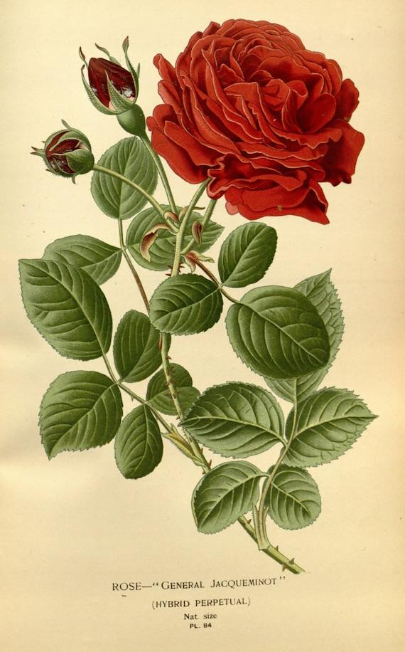 Rose Botanical Illustration Botanical Print Vintage Etsy