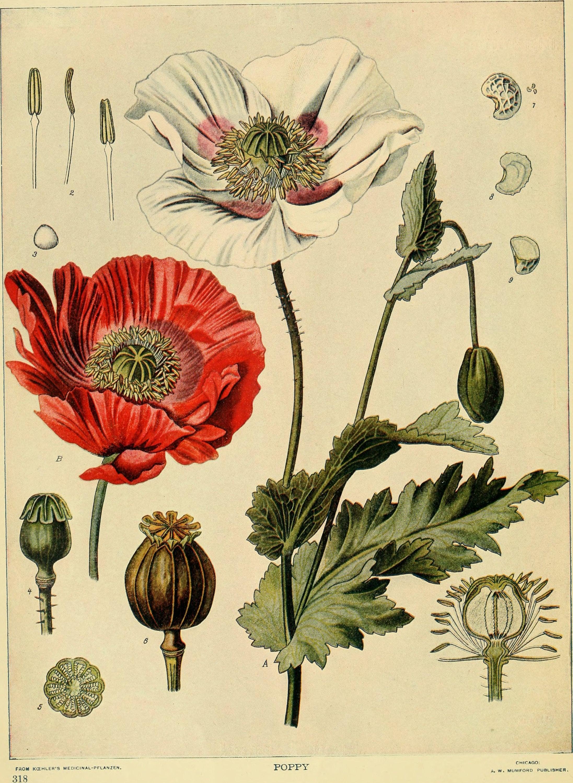 Poppy Botanical Print Botanical Illustration Vintage   Etsy
