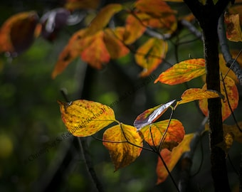 Autumn Leaves in the Midwest Digital Download