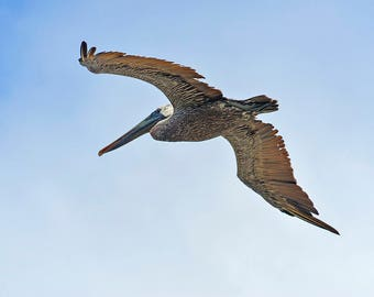 """Brown Pelican in Flight, St. Augustine, Florida, printed 10"""" X 8"""" on smooth matte paper 229 gsm,  1/4"""" border at top for mounting."""
