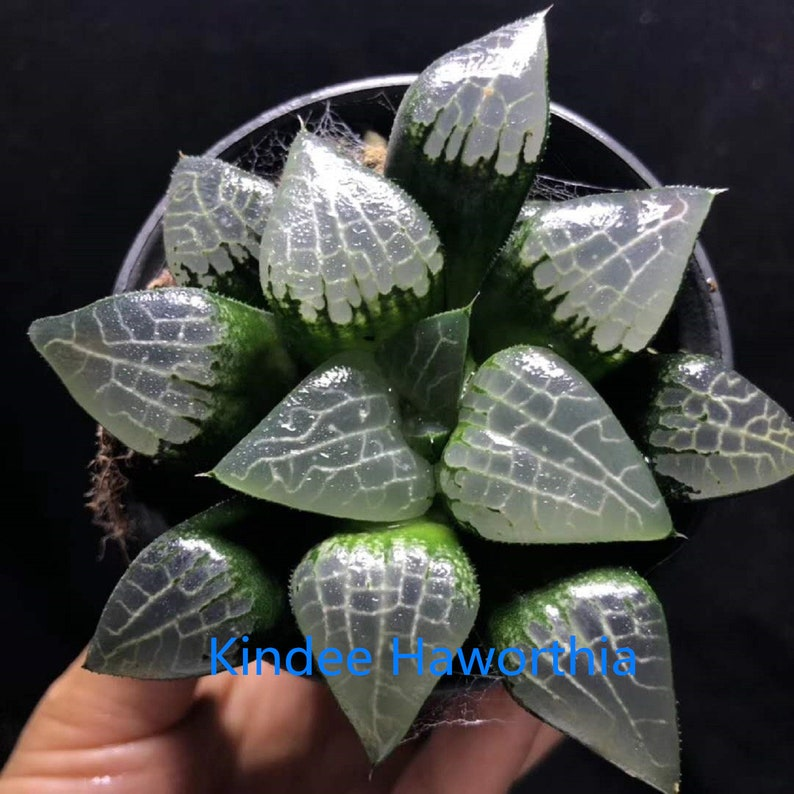 Haworthia correcta \u2018Hail\u2019 Rare Succulent Plant in 3 Pot