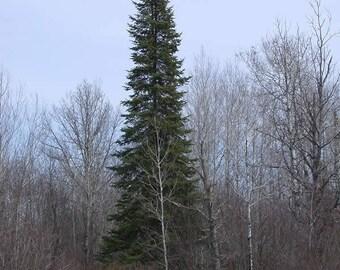 Balsam fir essence