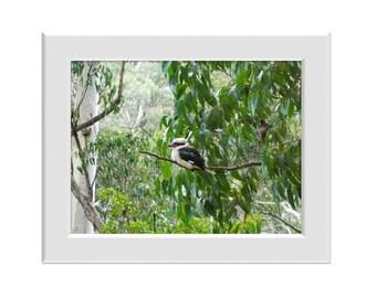 Digital Photo - Kookaburra 3 - Australian Wildlife Otway Rainforest