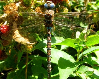 Dragonfly photography, dragonfly art, insect photography, dragonflies, dragonfly, blue dragonfly