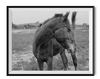 Israeli horse in the In the field Black and white film photography