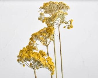 Dressed - Stems - Yellow - Dried flowers - Bulk