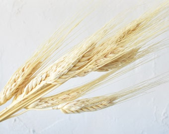 Barley - Stems - White - Dried Flowers - Bulk