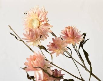 Helichrysum - Stems - Light pink - Dried flowers - Bulk