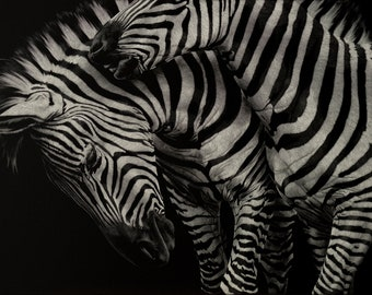 Zebra Couple Art Print   Scratchboard Fine Art Print   Black and White   Wildlife & African Decor