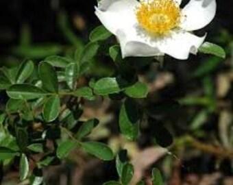 4692a7b9c 5 LIVE CHEROKEE ROSE Starter Plants Evergreen-Rosa laevigata-Georgia State  Flower-Antique Rose