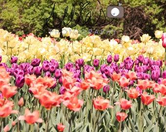 Orange, Purple and Yellow Tulips