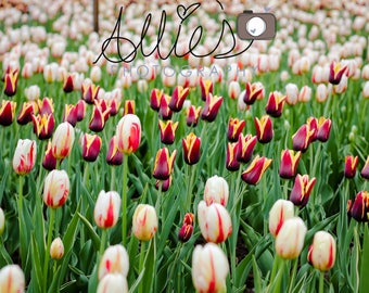 Burgundy and Yellow Tulips