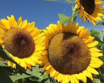 Summer Sunflower Photo Print