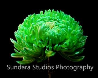 Green Chrysanthemum Flower Image