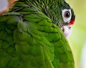 Puerto Rican Parrot Portrait Photo Print