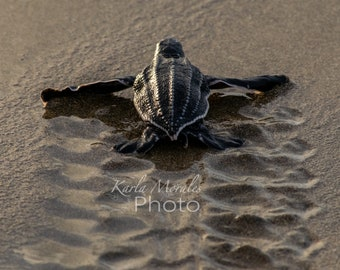 Baby Leatherback Sea Turtle and track Downloadable Photo