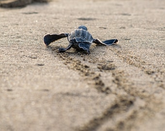 Baby Leatherback Goes Home photo print
