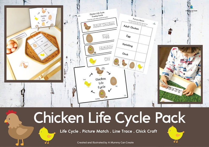 image about Life Cycle of a Chicken Printable called Hen Lifestyle Cycle