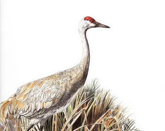 """Sandhill Crane Watercolor Print Bird Nature Painting Illustration Fine Art Print 10"""" X 12"""" - Limited Edition, Signed by Artist"""