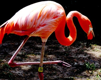digital download, flamingo, bird, pink, zoo, home decor