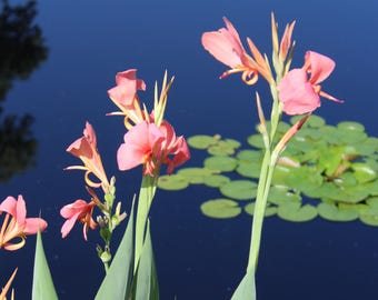 Water Day Lilies Flower Print