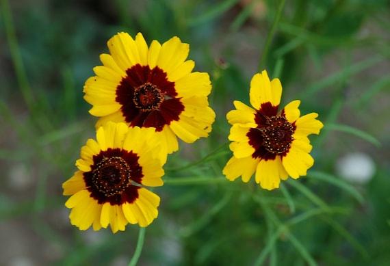 Blumen Samen Coreopsis tinctoria 0,3 Gramm