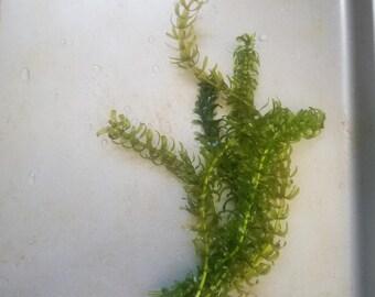Anacharis Aquarium Plants