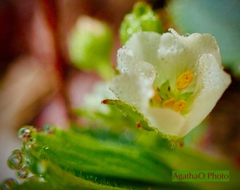 Strawberry Awaiting Bee -- Nature Greeting Card and Print -- Photography by AgathaO