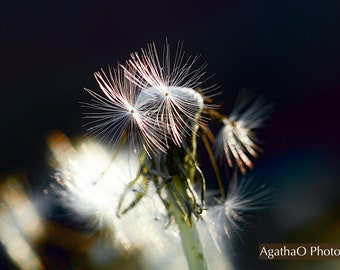 Dandelion Twins -- Nature Greeting Card and Print Photography by AgathaO --