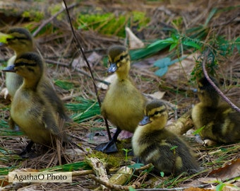 Mallard Ducklings -- Nature Greeting Card -- Photography by AgathaO