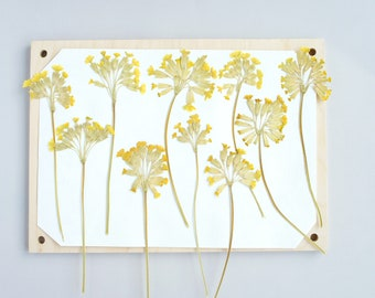 Dried Yellow Pressed Cowslip (Primula) Flowers for DIY crafts