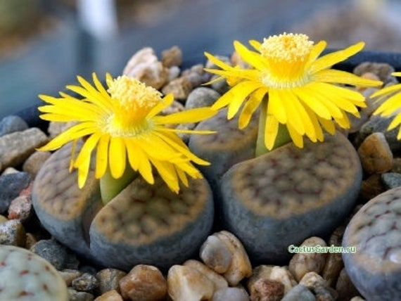 Lithops Aucampiae 100 Seeds Cactus Living Stone Flower Large