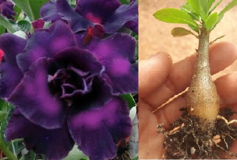 Rare Black Purple White Desert Rose Roots Adenium Obesum Flower Perennial Mat