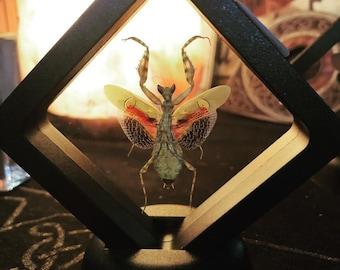 Jeweled Flower Mantis, Creobroter gemmatus, Floating Frame Insect, Jewel Mantid