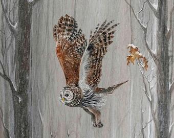 Barred Owl Among Oaks