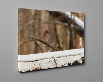 Gorgeous Waxwing in snowy Poland - Canvas