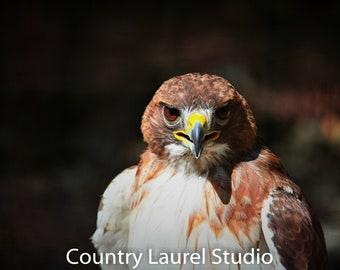 Faucon rouge queue photo Direct téléchargement instantané Raptor Photo  oiseaux Nature impressions naturelles Hunter puissant et gras 22459f6f85a