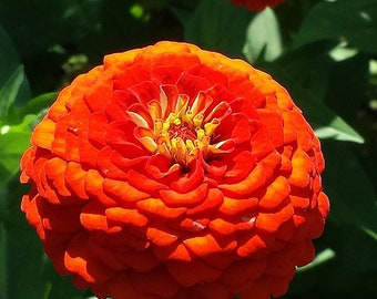 Brilliant orange zinnia flower photograph