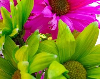 Colorful daisy flower photograph