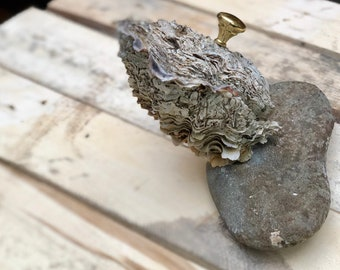 Very Rare Giant Oyster On a Rock.