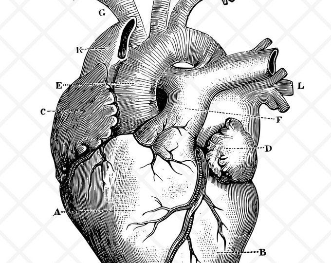 Anatomical Heart Illustration   Commercial License   Human Heart Clip Art   Medical Image   Cut File   SVG   DXF   PNG  