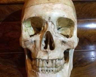 Human skull anatomical model medical sculpture wiccan wicca witches knot antique distressed head.