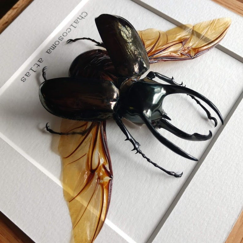 Real Framed Insect Display Atlas Beetle