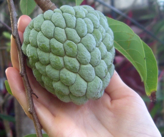 Seeds Sugar Apple Custard Apple Annona Squamosa Fruit tree Organic Non Gmo 30