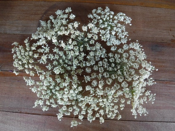 10 large medium dried queen annes lace heads real etsy image 0 mightylinksfo