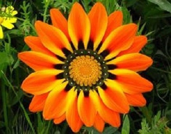 Orange Cream Gazania Re-Seeding Annual Flower Seeds Drought Resistant 30