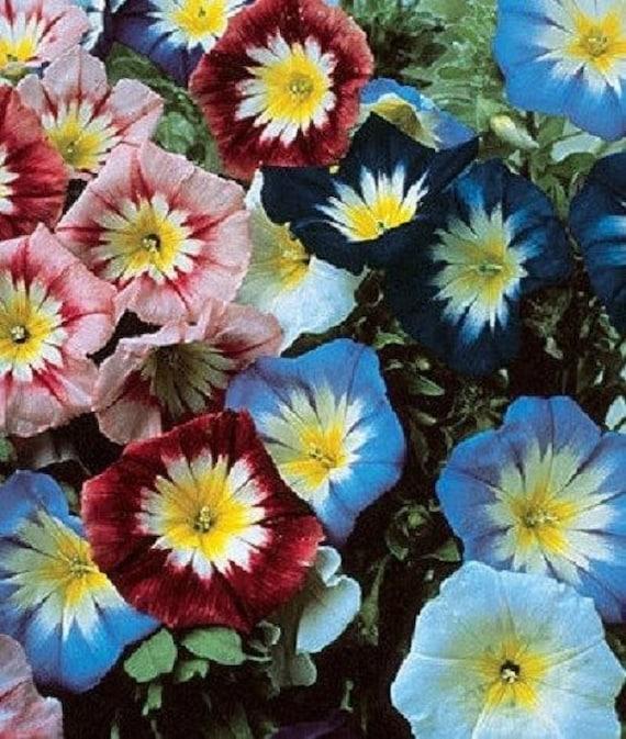 Re=Seeding Ensign White  Flower Seeds Morning Glory 25