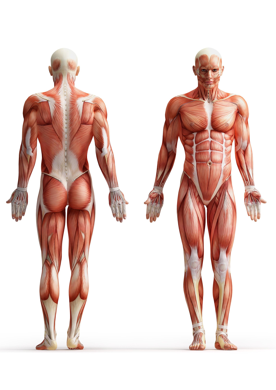 Muskel-Layout der menschliche Körper medizinische Anatomie | Etsy