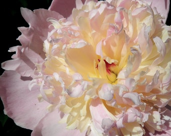 Garden Photography Pink and Pale Yellow Peony Fine Art Photograph Floral Wall Art